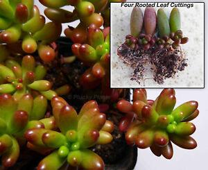 Sedum Rubrotinctum Jelly Beans Succulent Plant Four Rooted Leaf Cuttings