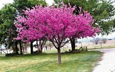 2ft Redbud Tree, Gorgeous Pink Blooms, healthy 2-3 yr old tree