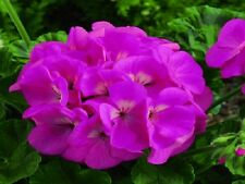 15 Film Coated Geranium Maverick Pink Geranium Seeds
