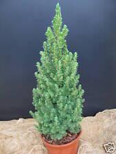 Zuckerhutfichte Picea glauca Conica 30-40cm Nadelgehölz