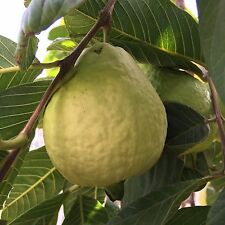 50+ S. California Home Garden Organic Large Sweet Guava Seeds, white Meat