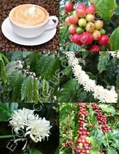 Coffea arabica, tropical coffee bean tree rare shrub exotic cafe seed 100 SEEDS