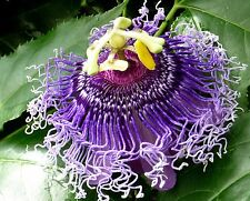Passiflora incarnata HARDY DARK PURPLE FORM! SEEDS!