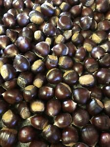 Fresh Chestnuts for Eating or Planting - Gathered Daily (5 lb)