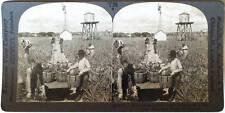 Keystone Stereoview of Harvesting Pineapples in FLORIDA rom 1930's T400 Set FL