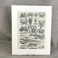 1894 Antico Moschettone Stampa 19th Secolo Crabs Shrimp Crustaceans Marino Life