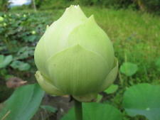 10 seeds Lotus Flower, Sacred Lotus, Nelumbo nucifera
