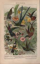 Chromo-Lithografie 1898: KOLIBRIS.Adlerschnabel Blauschwanz-Moschus-Topaskolibri
