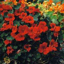 Nasturtium - Princess of India - 30 Seeds