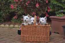 659000 Three West Highland White Terrier Puppies In Basket A4 Photo Print