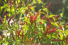 Liveseeds - HOT CHILLI PEPPER - THAI SUPER CHILE - 100 Seeds