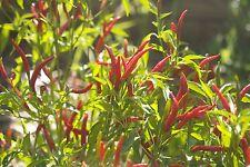 Hot Chilli Pimienta-Thai Super Chile - 10 semillas-liveseeds
