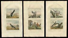 Three (3) 1808 Hand Colored Pigeon, Woodpecker Engravings Buffon Natural History