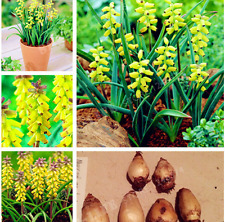 True Yellow Grape Hyacinths Bulb,Hyacinth Flower,Bonsai Flower Bulbs So Fragrant