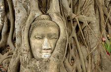 Lámina-del Buda cara en las raíces de un árbol (imagen Cartel Budista Arte