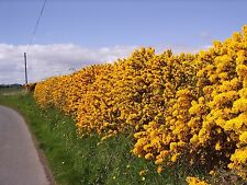 50 Gorse Hedging Bush,Prickly Furze Plants,Fragrant Yellow Whin Evergreen Hedge