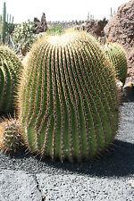10 Semillas-Tonel Gigante Cactus-Echinocactus Platyacanthus (E. ingens)