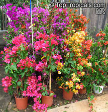 Mixed-colours Bougainvillea Spectabilis Flower Seeds, *DOUBLE VALUE PACK