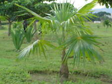 Coccothrinax Barbadensis Silver Thatch palm tree 25 x seeds.