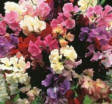 Sweet Pea Royal Family Mix 50 seeds *Colorful * Easy Grow *Fragrant* CombSH G22