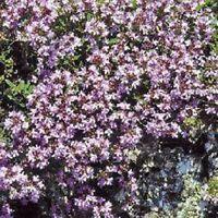 Creeping Thyme - wild(Thymus Serpyllum)- 500 Seeds