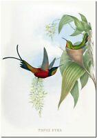 "Vintage John Gould Hummingbird Bee Eater Art CANVAS PRINT~Topaza Pyra 24x16"""