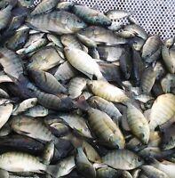 """25 Lot 2""""-3"""" Live Blue Tilapia Fish For Aquaponics Algae Control"""
