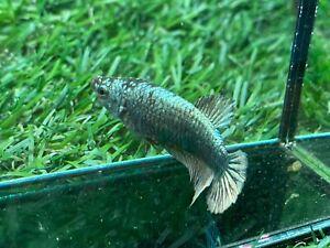 Live Betta Fish - Female - Fancy Copper Betta HMPK, 3 month From Thailand