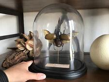 Cabinet de Curiosités / Globe Dynastes hercules septentrionalis 135mm / Insecte