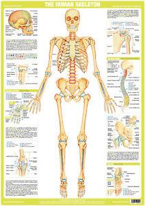 Human Skeleton Poster Anatomy Chart