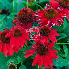 100PCS RED RUBY ECHINACEA CONE-FLOWER SEEDS PERENNIAL HOME GARDEN BONSAI PLANT