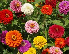 200 Zinnia Flowers Seeds Mixed Rare Beautiful Plant for the Garden & Home Bonsai