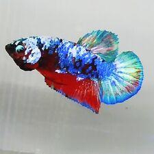 Live Betta Fish Multicolor Galaxy HMPK Male from Indonesia Breeder