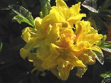 Gartenazalee Goldpracht Rhododendron luteum 30-40cm Frühlingsblüher