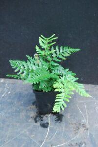 Exotic Fern - Dryopteris labordei