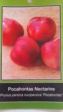 4'-5' Pocahontas Nectarine Tree Live Healthy Fruit Trees Plant New Home Garden