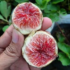 4 calderona black Spanish fig tree cuttings ficus carica self fertile