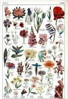 Ancien Document Botanique Violette Lis Rose Mimosa Oeillet Digitale Muguet Pavot