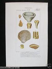 1847 ca chenendopora fossili zoologia antica stampa acquerellata engraving D196