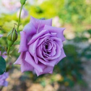 10PCS - Blue moon tea Rose seeds bonsai small~~~USA grown and shipped