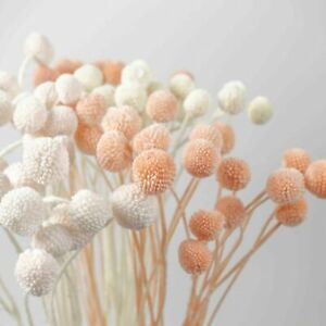 10 Stems Preserved Billy Buttons Bunch Natural Dried Bleached Flowers DIY Decor