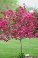 5 Dwarf Pink Dogwood Seeds Tree Cornus Florida Fubra Flowering Hardy Fall 663