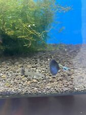 Beautiful Galaxy Magic Blue Tail Guppies 1 Trio 3 Months old Prehit Females