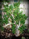 Gollum variegated succulent plant CRASSULA OVATA succulent rare