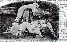Antique Postcard - Mountain Goats, Killed At Summit, White Pass, Alaska, 1904