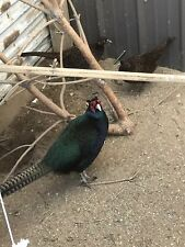 8 Green Melanistic Pheasant Hatching Eggs (Shipped now! )
