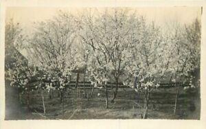 C-1910 Farm Agriculture Fruit Orchard Bloom RPPC Photo Postcard 21-2071