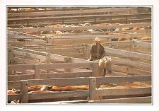 BF36360 amarillo cattle in the corral cow horse types USA  front/back scan