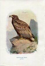 1901 WHITE-TAILED EAGLE BIRD OF PREY Antique Print W.Swaysland