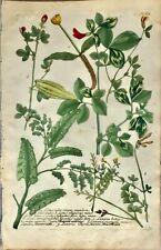 Botanical Print Antique, Weinmann, Phytanthoza Iconographia, Trefoil,1748